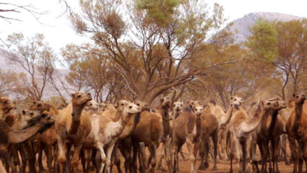 Kamele In Australien