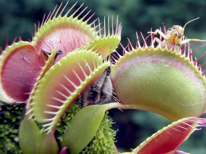 Die venusfliegenfalle gehört zu den fleischfressenden pflanzen