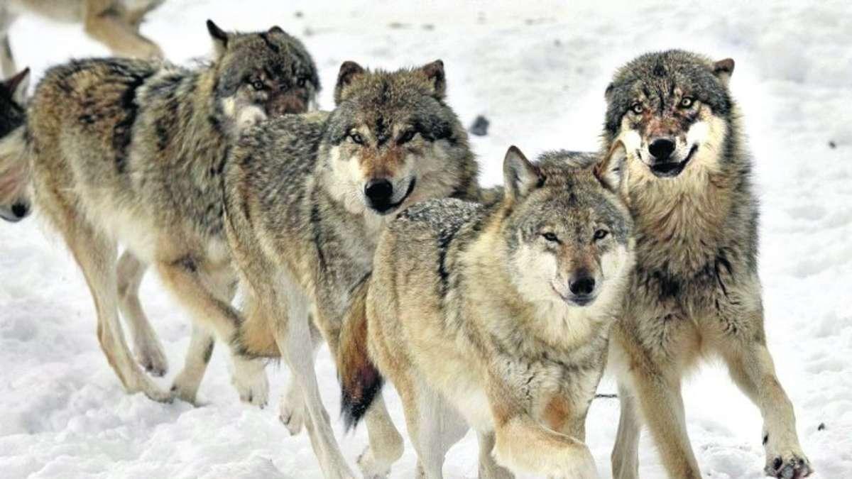 heulende wölfe bei vollmond