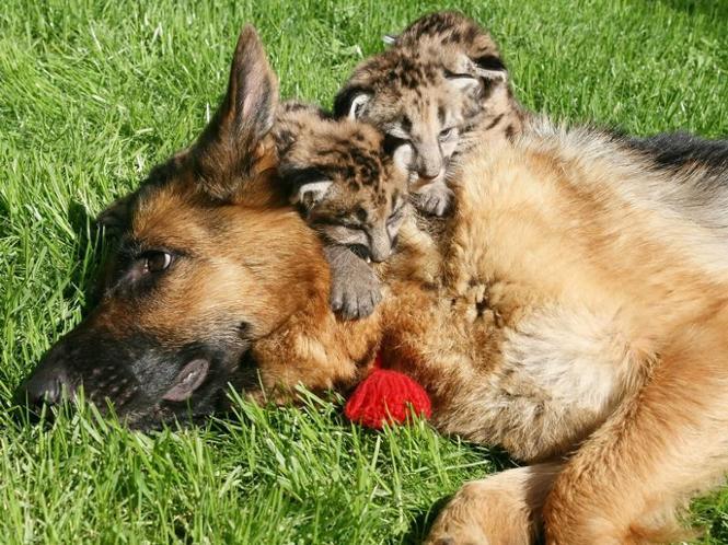 Image Result For Denver German Shepherd Breeders
