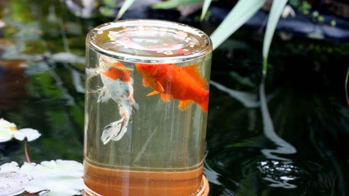 Ein aussichtsturm f r fische im gartenteich kreis kassel for Fische im gartenteich