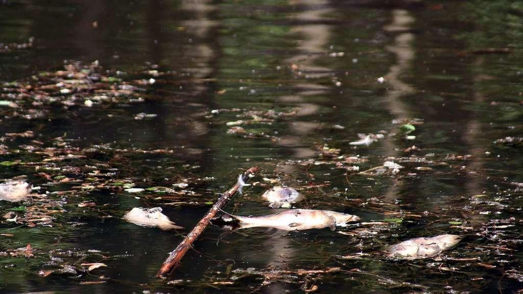 Insgesamt 25 tote fische aus teich im baunataler stadtpark for Fische algenfresser teich