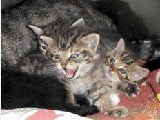 Aggressiv und niedlich: Dass die Kätzchen nicht so zahm wie Hauskatzen sind, fiel den Tierheimmitarbeitern auf. Im Tierheim Beuern wurden die Jungen zu einem Muttertier gesetzt. Foto: privat