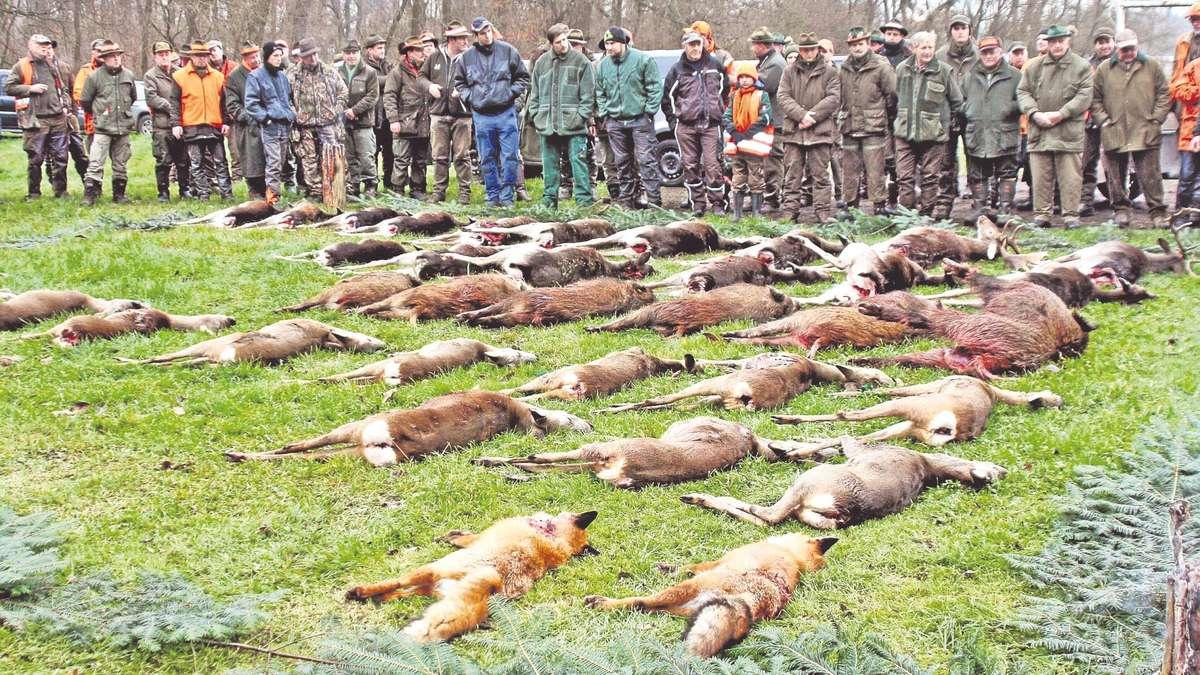 Das Ergebnis einer Bewegungsjagd: Die Zahl der erlegten Tiere h�nge von vielen Faktoren ab, sagt der Jesberger Forstamtsleiter Karl-Gerhard Nassauer. Auf keinen Fall aber widerspreche diese Jagdform dem Tierschutzgesetz. Das Foto entstand in Stendal. Foto: dpa