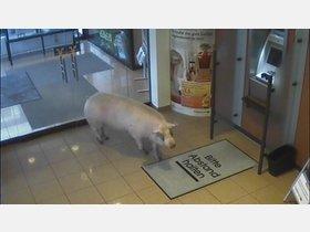 Schwein geht zum Geldautomaten - HNA.de