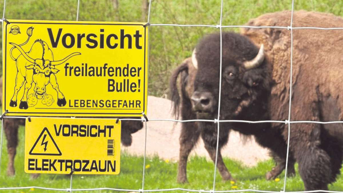 bisons grasen am bollert sven tilchs herde hat 16 tiere uslar solling. Black Bedroom Furniture Sets. Home Design Ideas