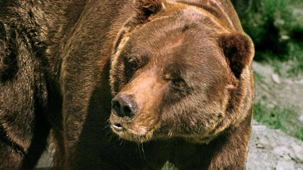 Tödliche Grizzly-Attacke in den USA