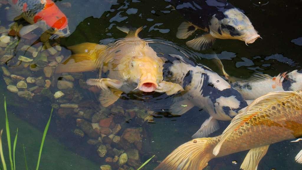 Virus bedroht kassels koi karpfen veterin ramt warnt for Koi mit goldfischen