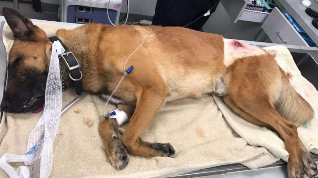 Polizeihund fängt Kugel ab und rettet Partner das Leben