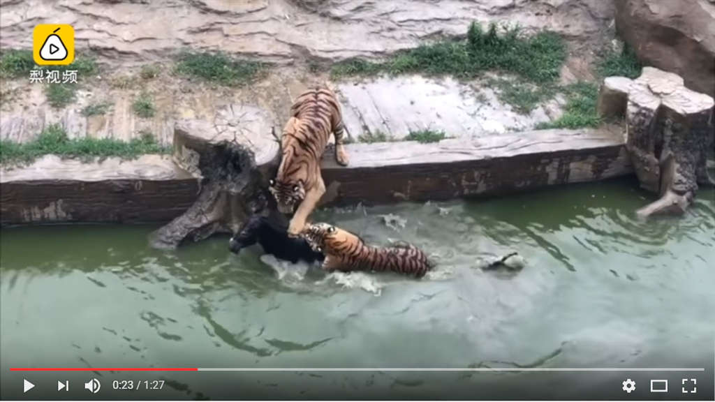 Zoo in China Lebendiger Esel in Tiger-Gehege geworfen