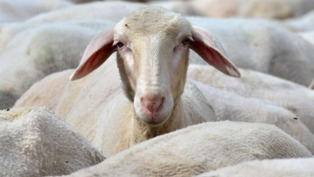 Schafe erkennen Barack Obama und Emma Watson
