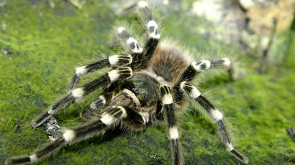 Giftspinnen-Invasion in Australien | Welt
