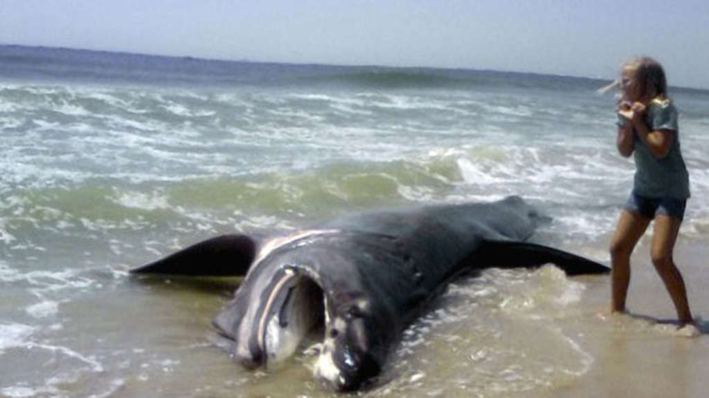 Riesen Hai
