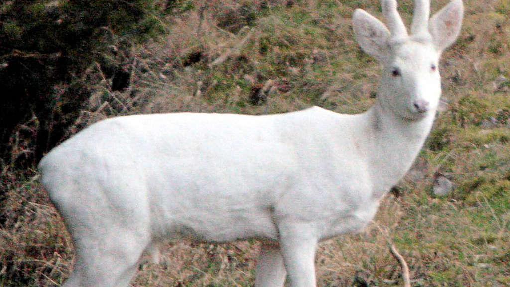 Albino Reh