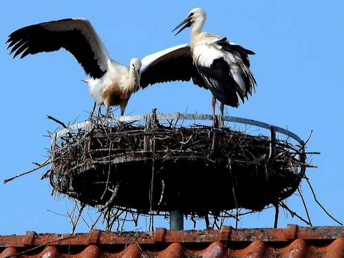 Ein Jungstorch pro Nest in 2014