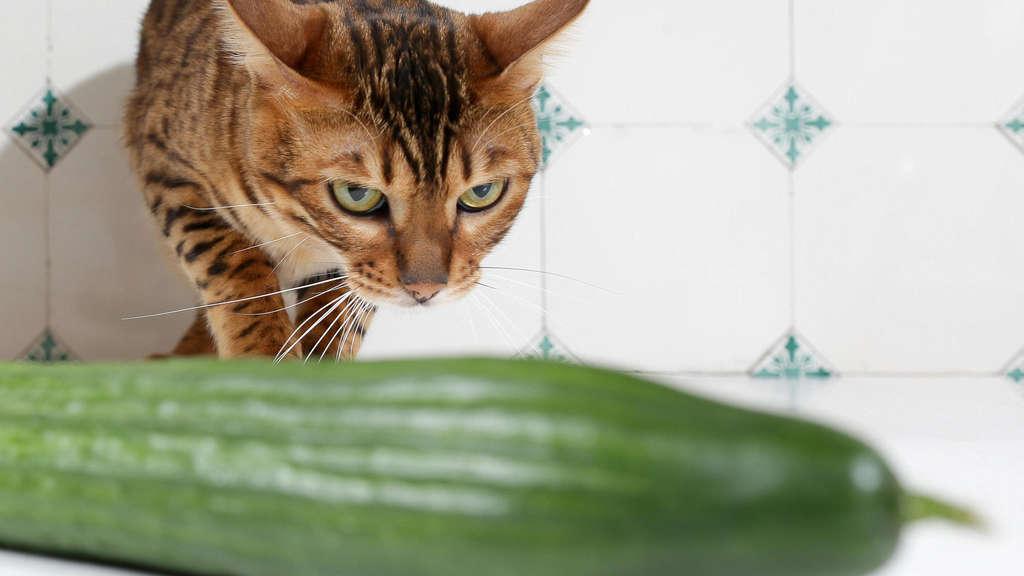 Katze Gurke