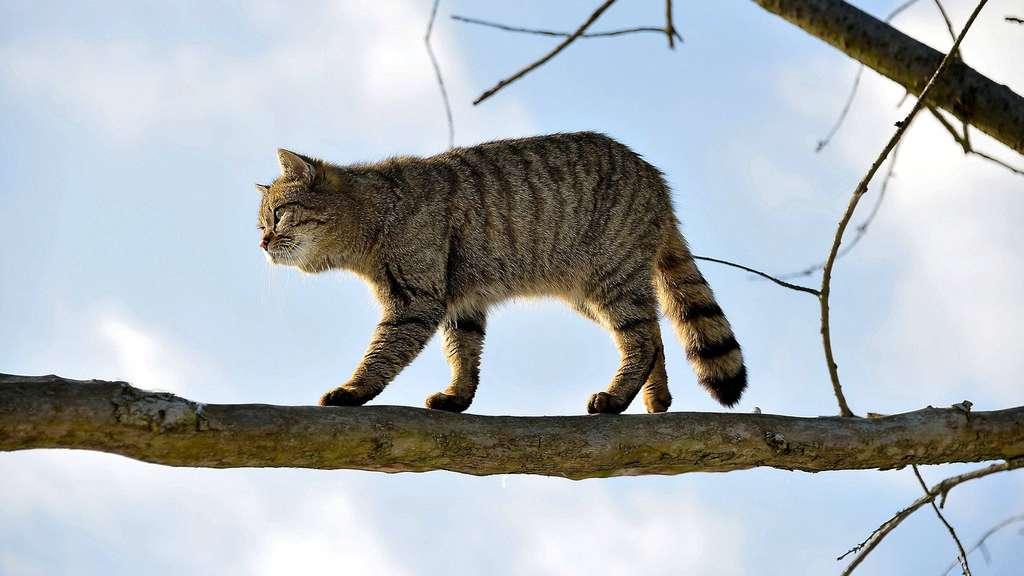 wildkatzen werden in waldeck frankenberg heimisch kreis waldeck frankenberg. Black Bedroom Furniture Sets. Home Design Ideas