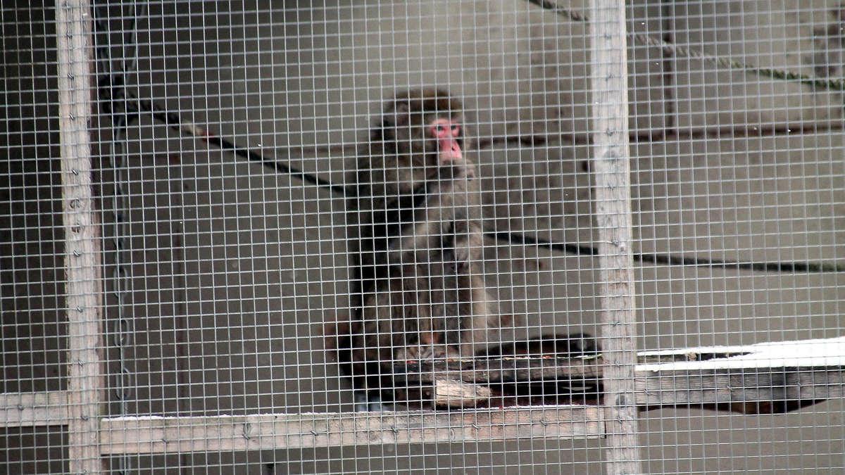 Beeindruckend Haustier Affe Galerie Von Besitzer Verzogen: Einsamer In Gehege Erhitzt Die