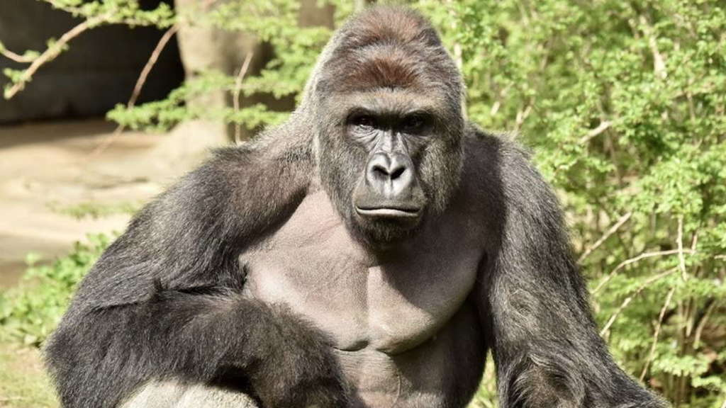 Gorilla shot after 4 year-old boy fell into gorilla enclosure