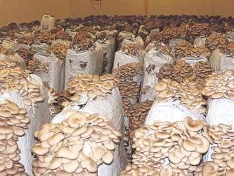 Austernpilze züchten