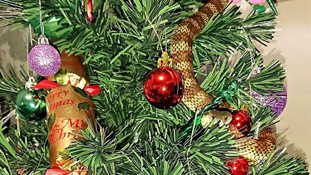 Australien: Schlange im Weihnachtsbaum | Welt