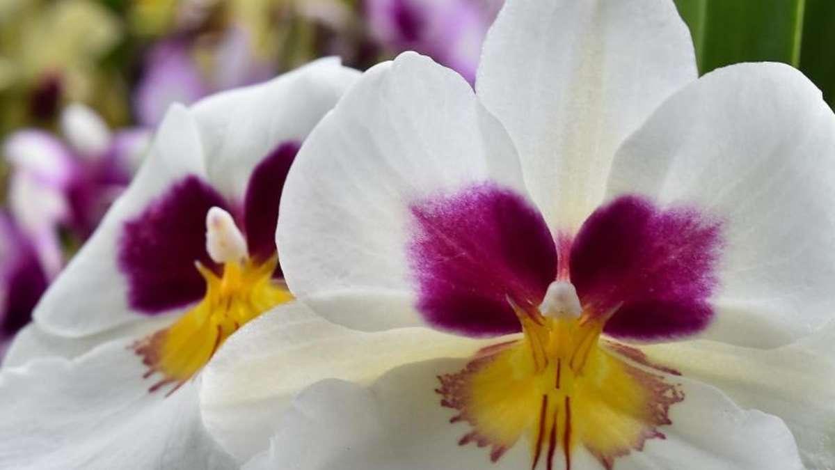 gelbe bl tter an orchidee sind hinweis auf zu viel sonne wohnen. Black Bedroom Furniture Sets. Home Design Ideas