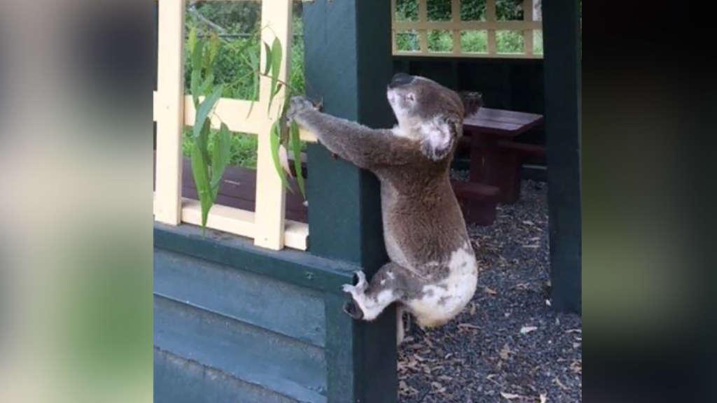 Empörung in Australien: Tierquäler nageln Koala an Pfosten | Welt
