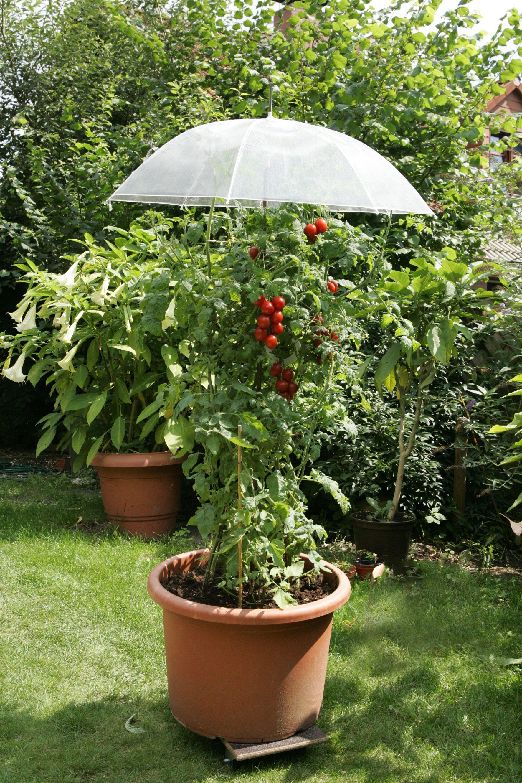405531011 Garten Tomaten