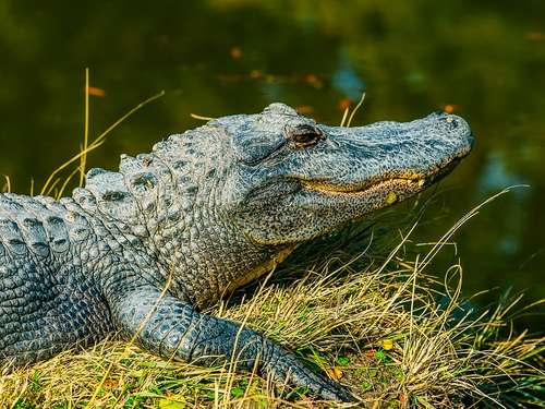 Alligator spaziert über Rollfeld in Florida