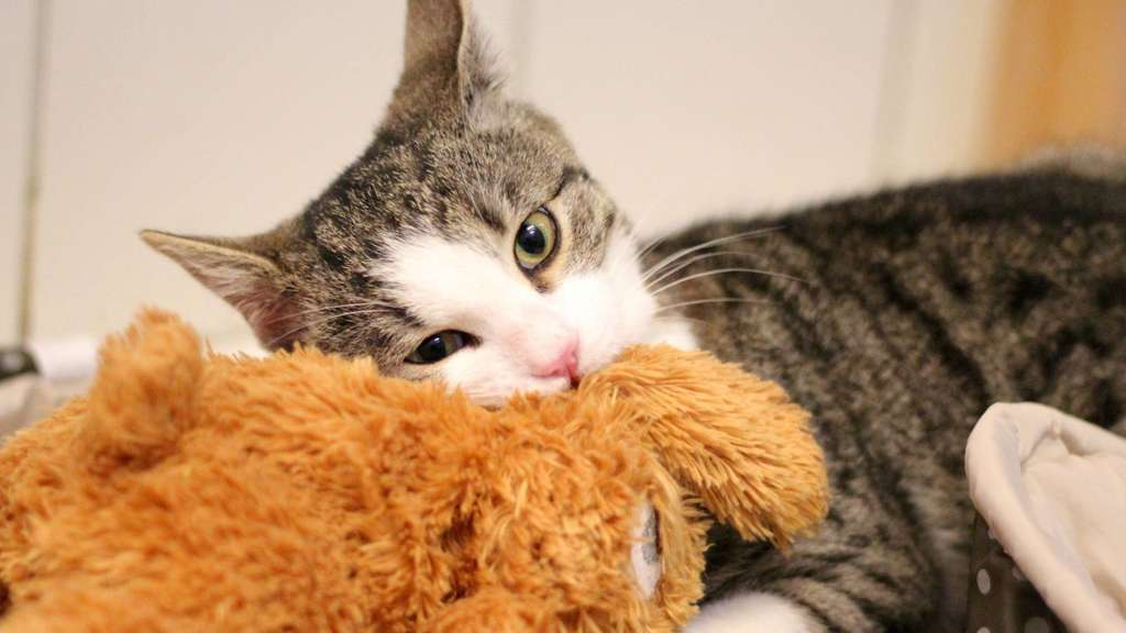 Schwerverletzte Katze Gwendolyn überlebte Mehrere Operationen