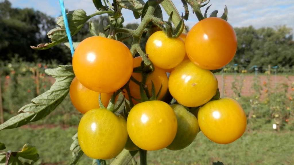 Fabelhaft Pflanzenzüchter der Uni Göttingen schützen Tomaten-Saatgut als &PO_37