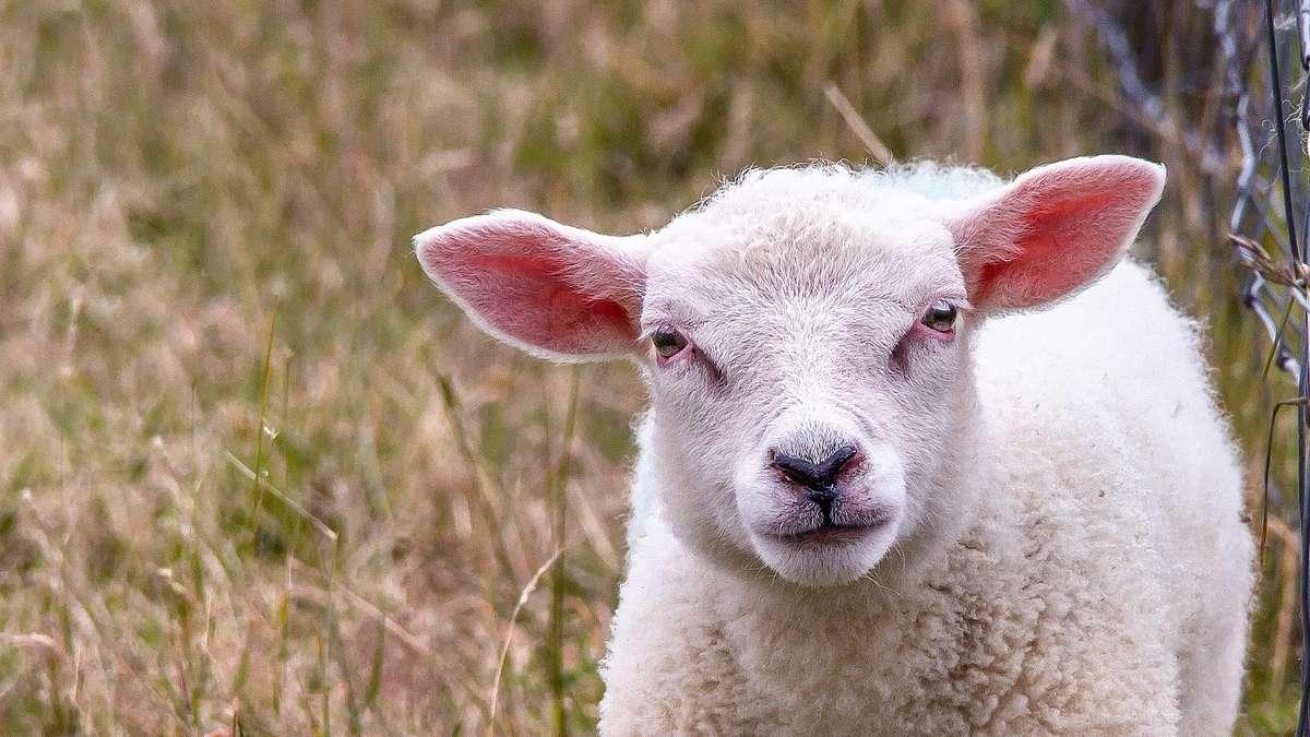 """Zwei Schafe bei Rotenburg gerissen: Zaun war """"wolfssicher"""" - komplette Herde in Panik"""