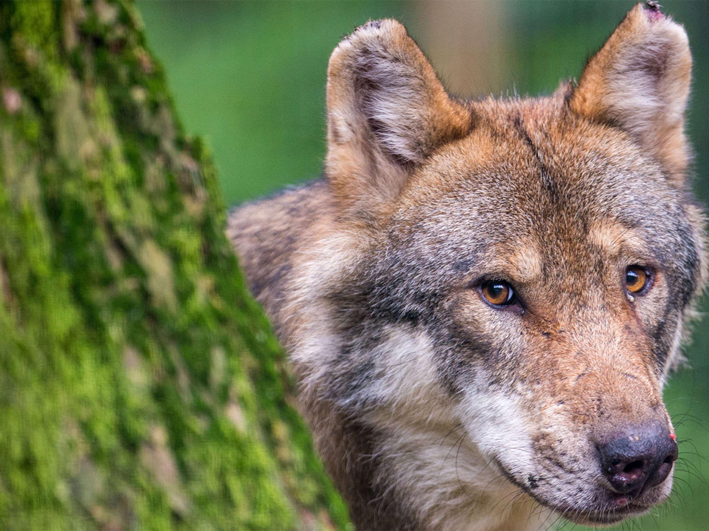 Wolf Und Mensch Eine Wechselhafte Geschichte Welt