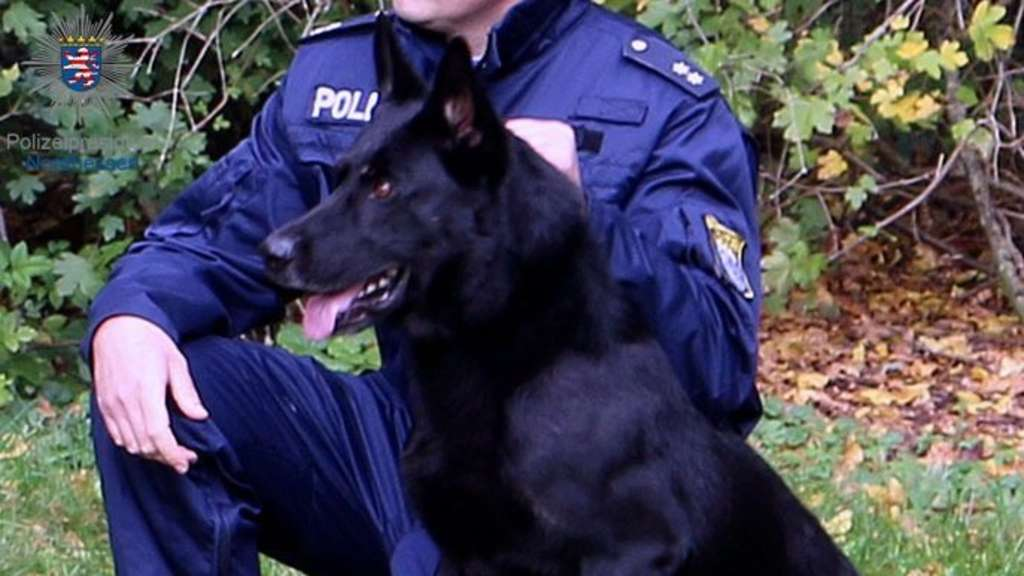 Kassel: Polizeihund Hancock findet Marihuana in Golf