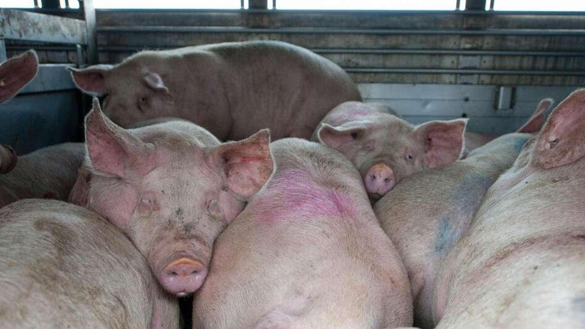 Erreger von Schweinen könnte auf Menschen überspringen...
